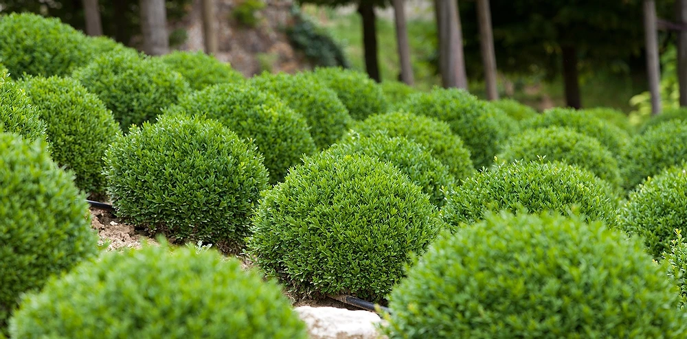 green velvet boxwood.webp