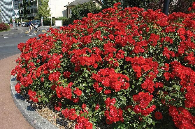 red drift rose.webp