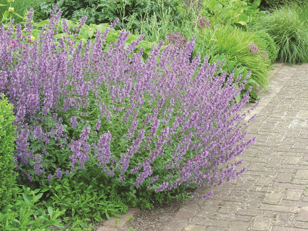 lavenderhidcotesuperior.jpg