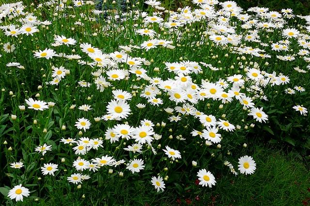 shasta daisy becky.webp