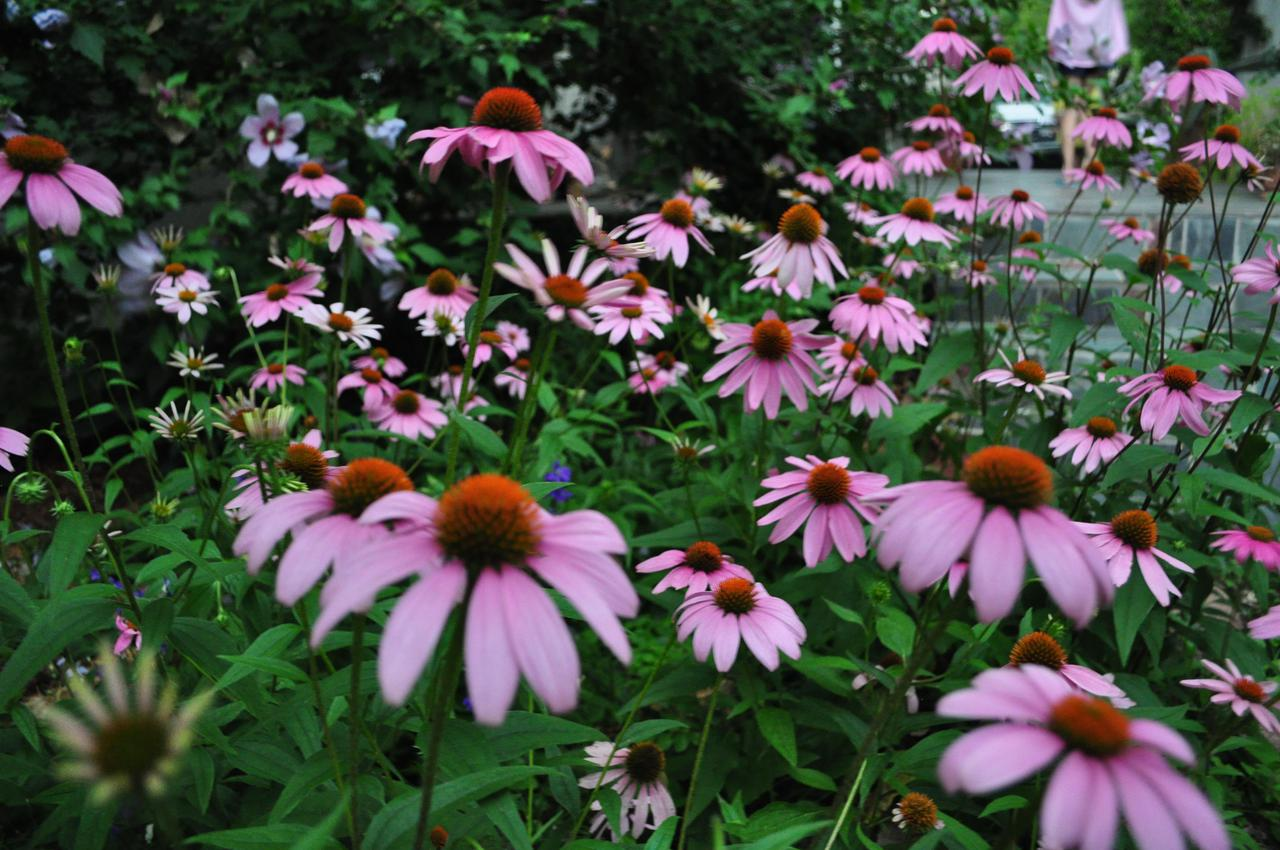 purpleconeflower.jpg