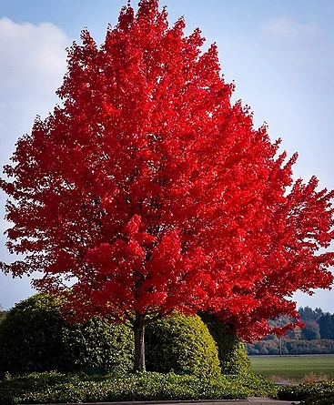 red maple.webp
