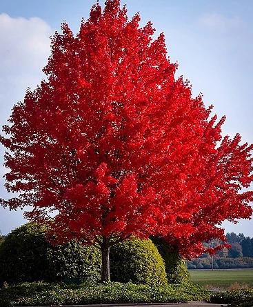 red maple.webp