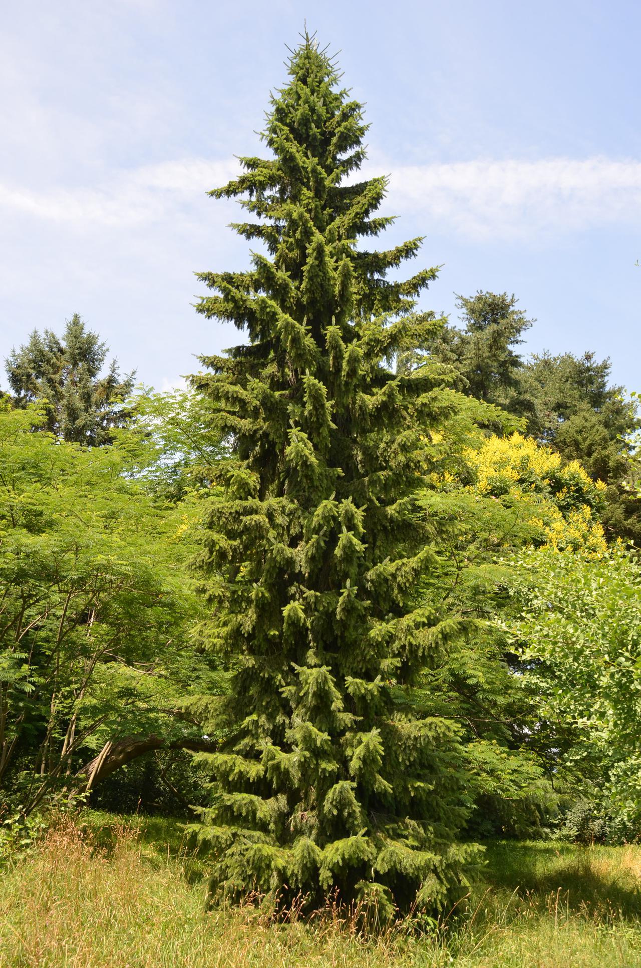serbianspruce.jpg