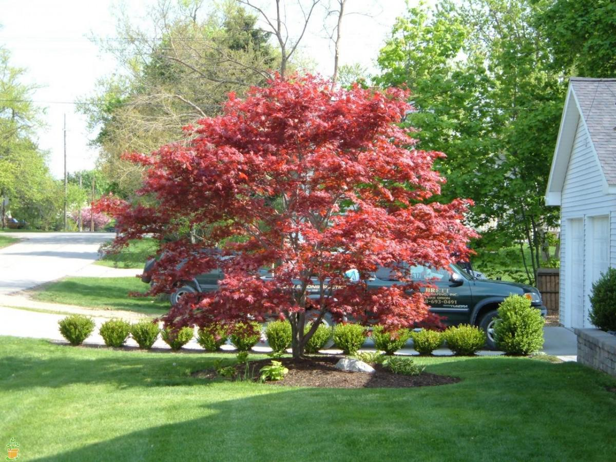 bloodgoodjapanesemaple.jpg