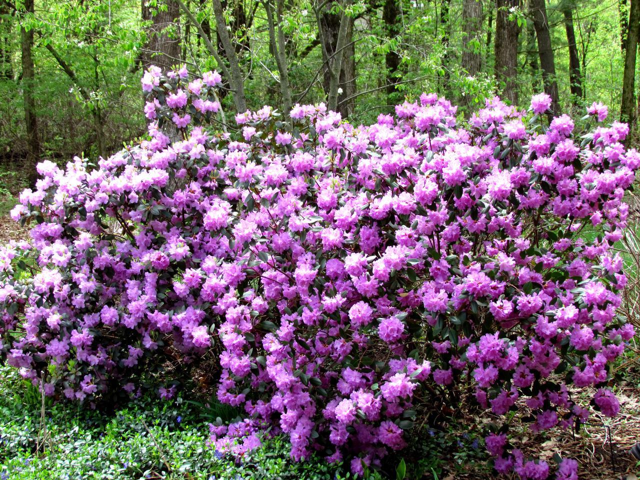 pjmrhododendron.jpg