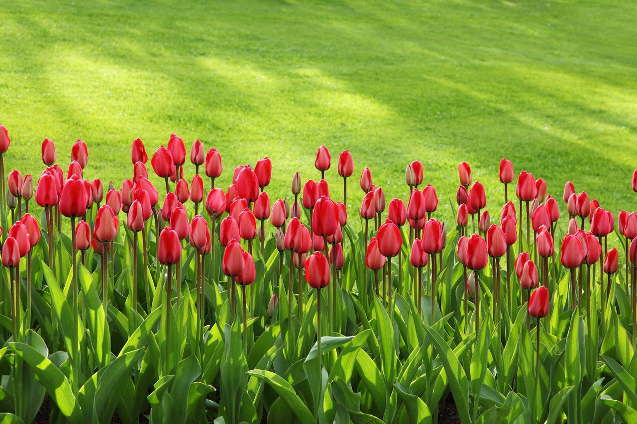 tulips-21620_1920.jpg