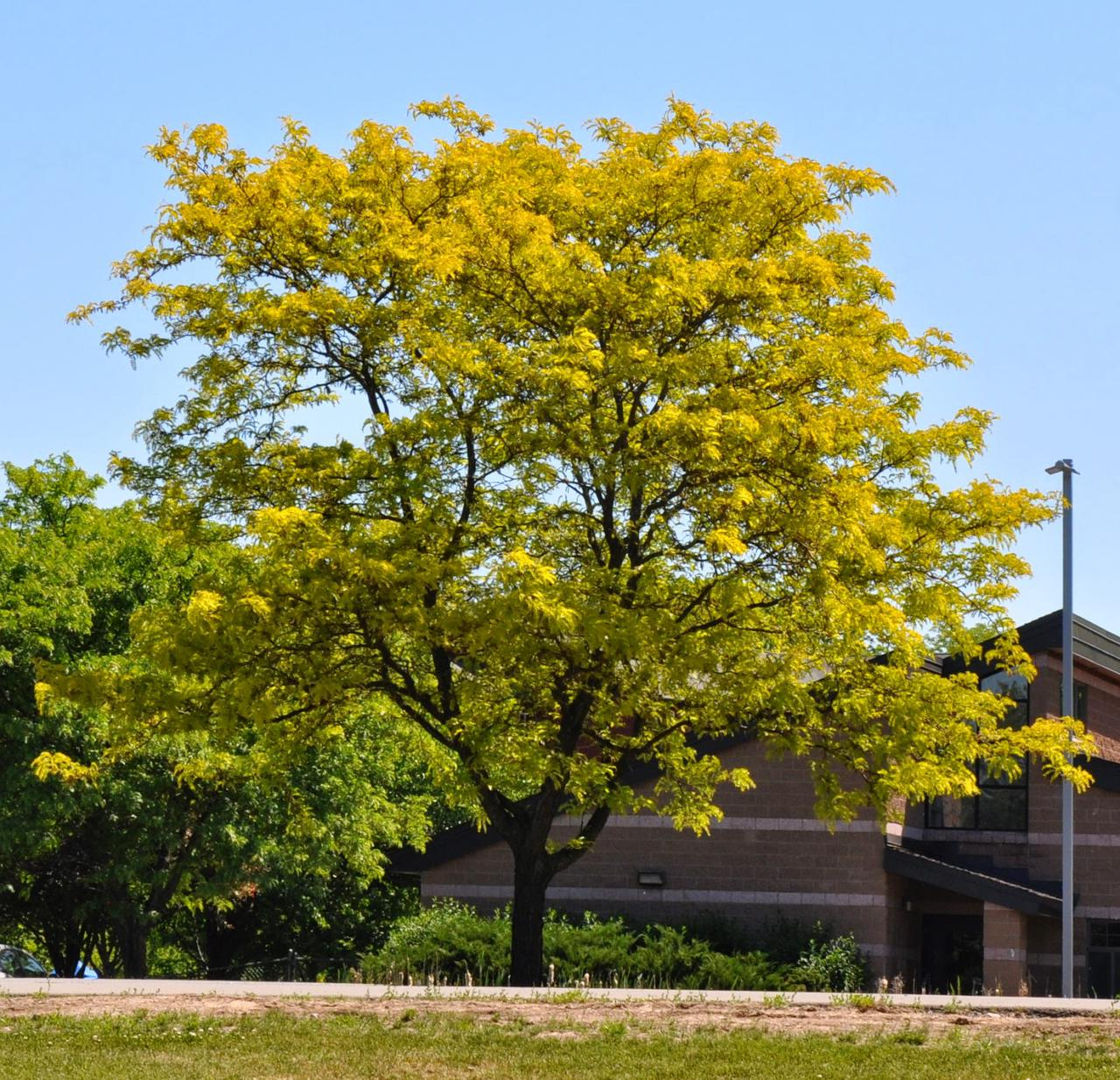 honeylocust.jpg