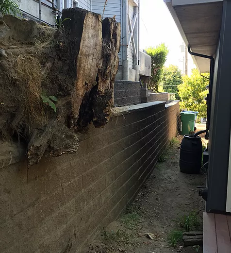 difficult to remove stump along a retaining wall