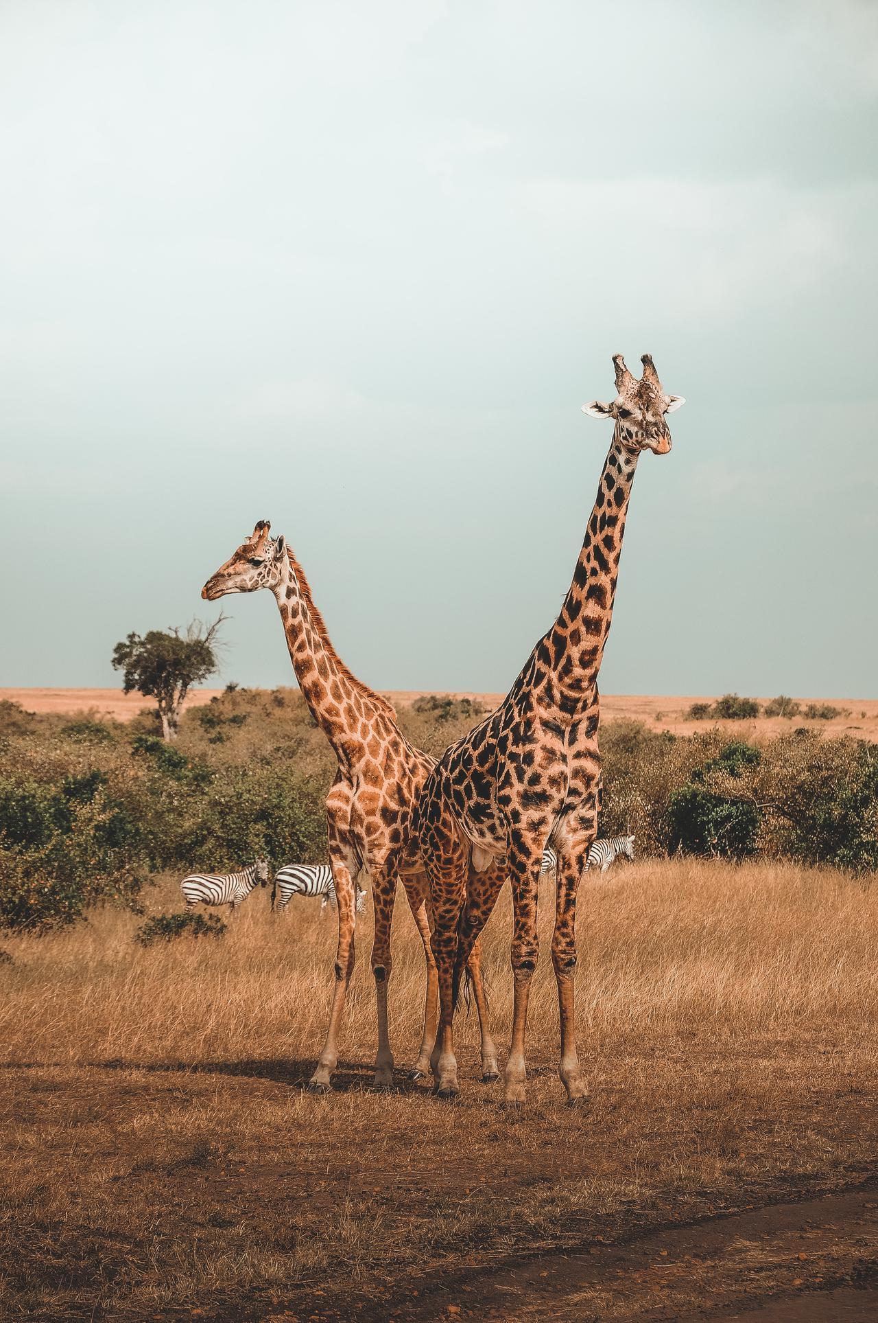 two giraffes under cloudy sky