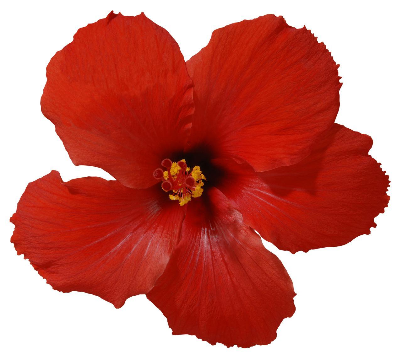 website-review-images/iStock-172180673 (Hibiscus).jpg