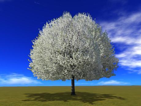 spring_white_flowering_bradford_pear_tree_001 - copy.jpg