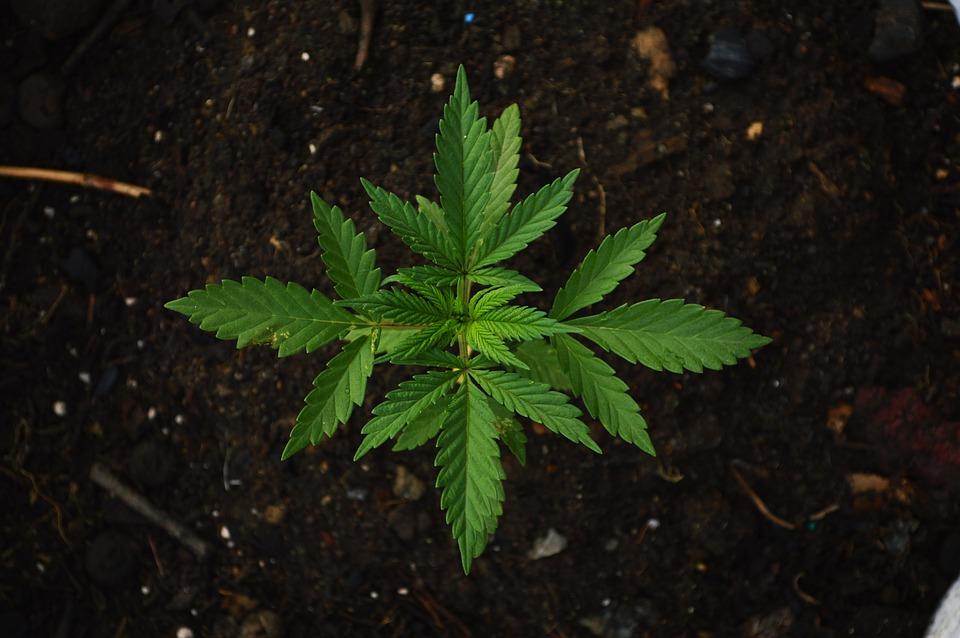 Where to get top-grade medical marijuana in Maryland