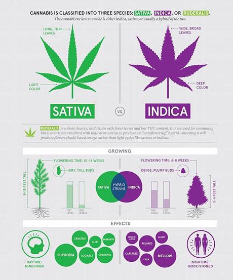 cannabis indica cannabis oil 34