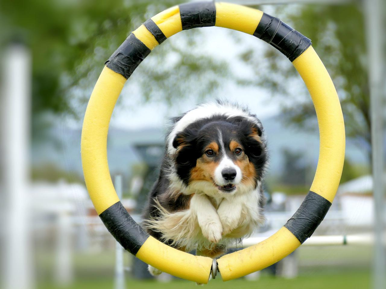 Border Collie jumping through the hoop at NZDAC Gore New Zealand