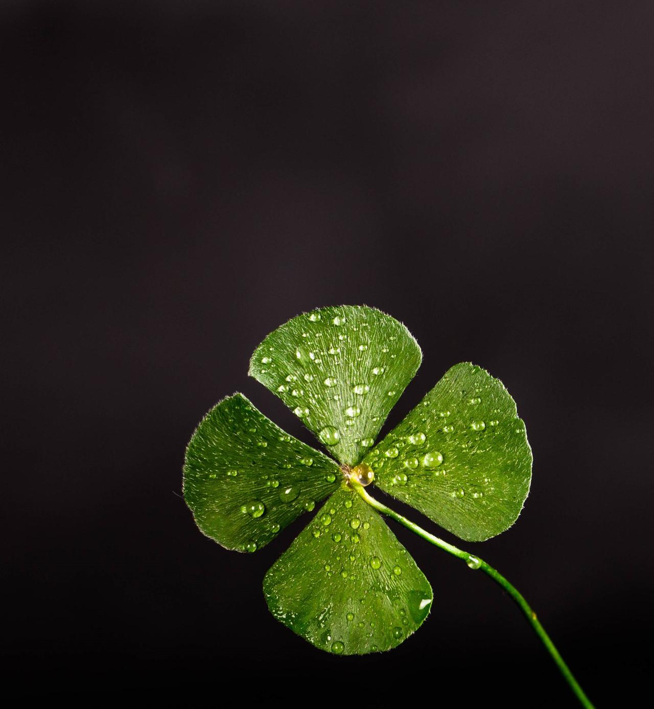 clover-dew-leaf-705310.jpg