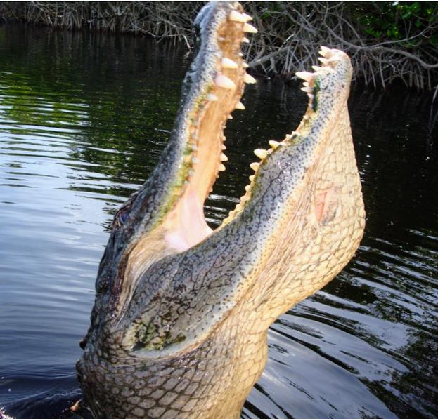 aligator.png