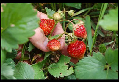 website-review-images/strawberries2.jpg
