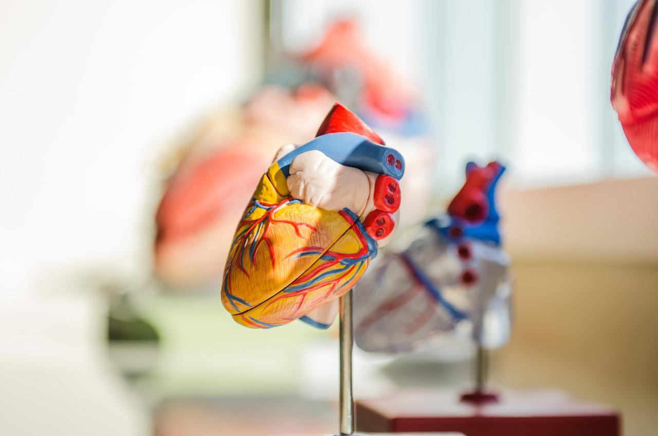 Model organ used in vascular care to explain the cardiovascular system