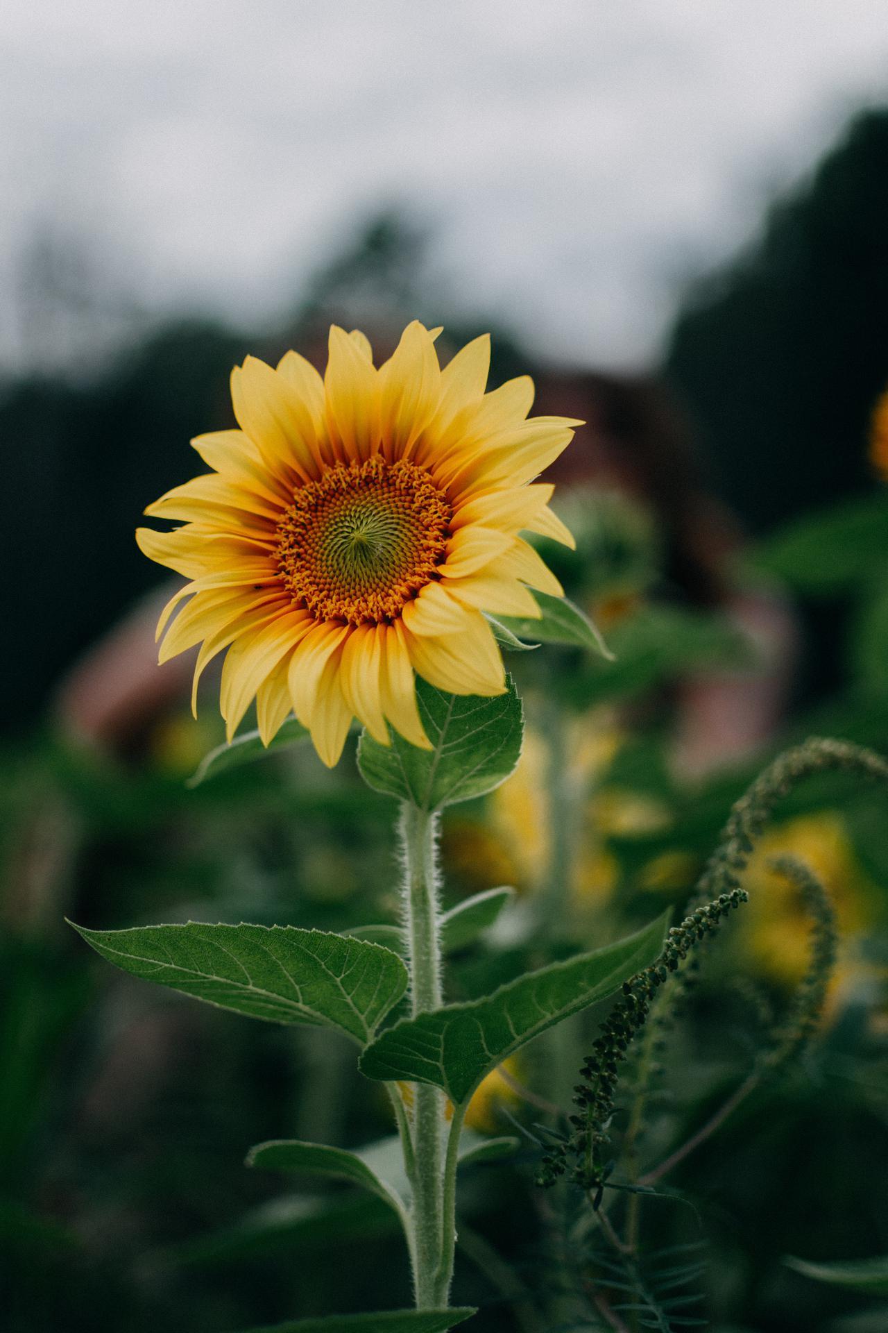 sunflower-selective-focus-photography-1366630.jpg