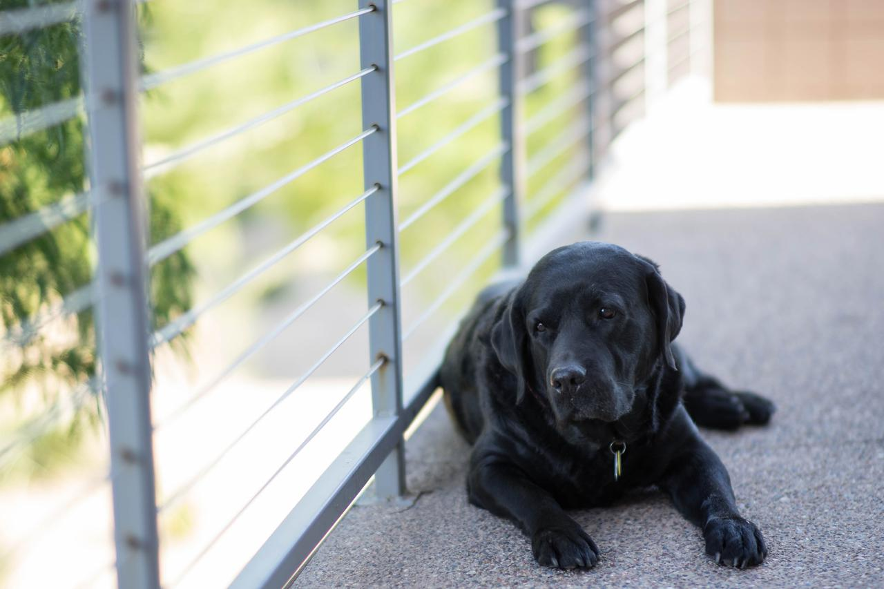 adult black Labrador retriever lying on concrete floor near gray metal handrail