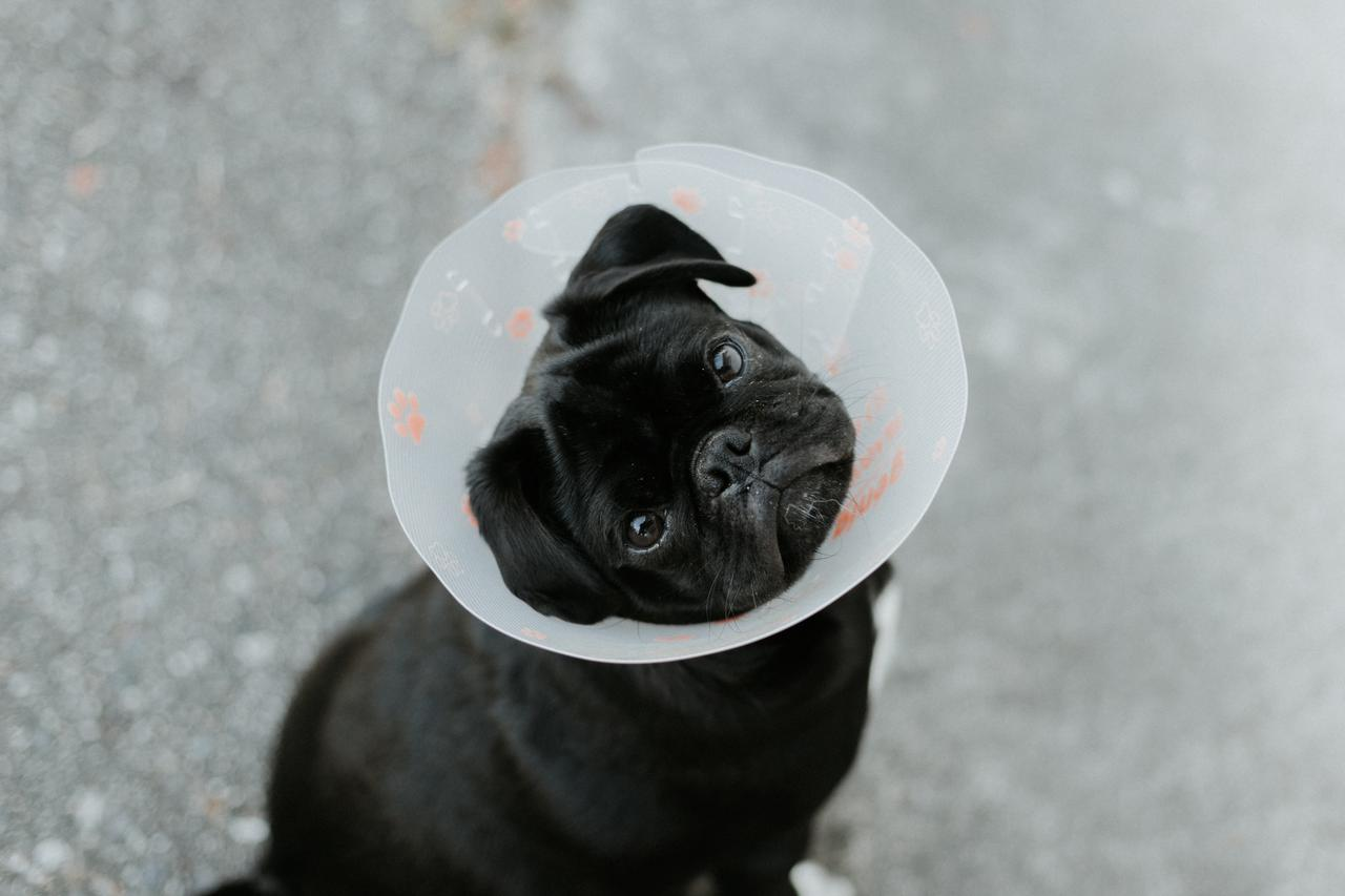 black pug wearing a plastic cone after undergoing animal surgery
