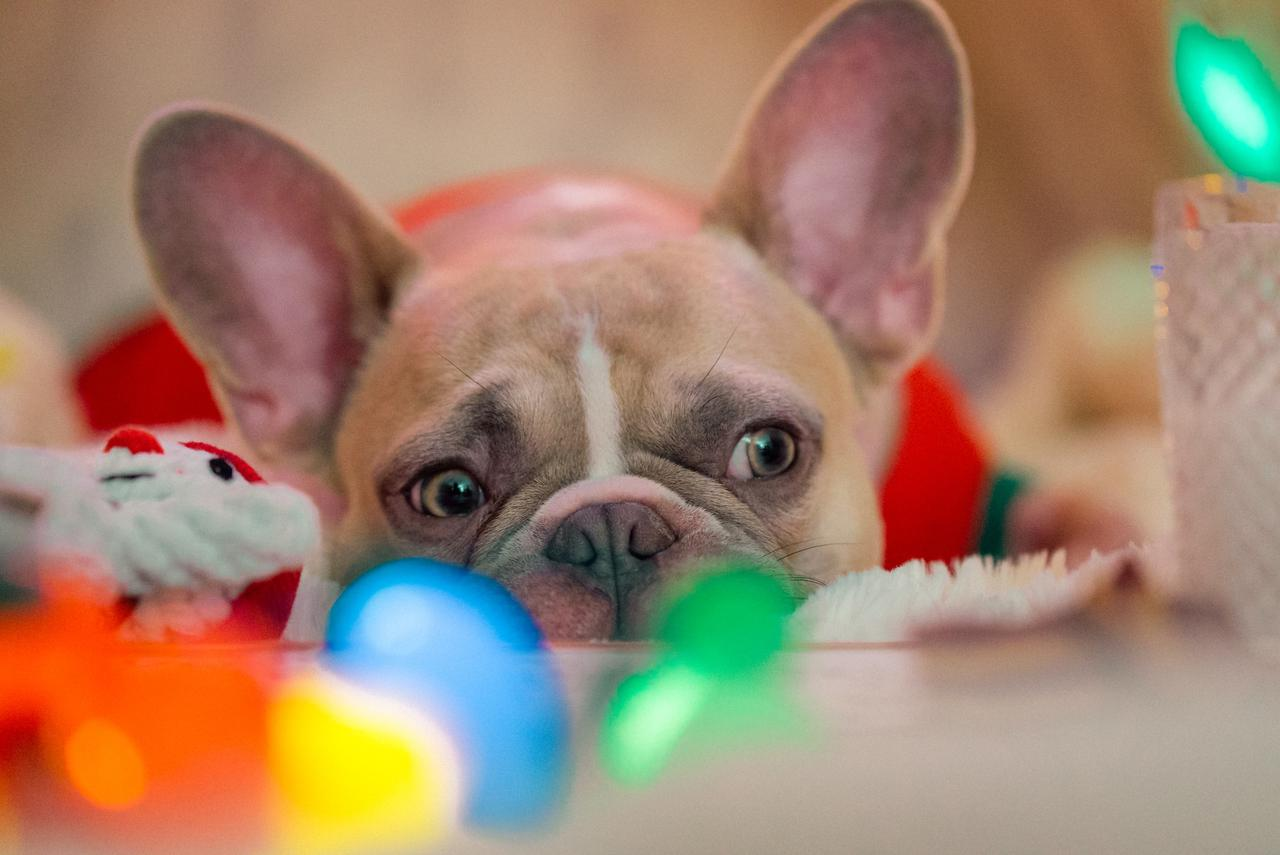 3 creative ways to give a French Bulldog puppy at no extra cost