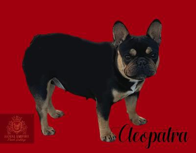 Image of Cleopatra a dam with SoCal french bulldog breeders.