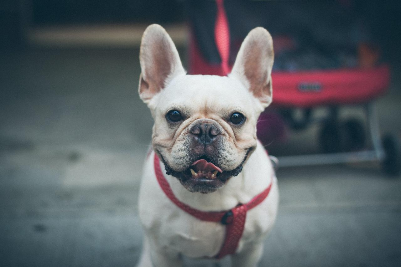 5 tips for a new French Bulldog puppy owner