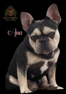 Image of Ana, a California Frenchie breeder ladydog.