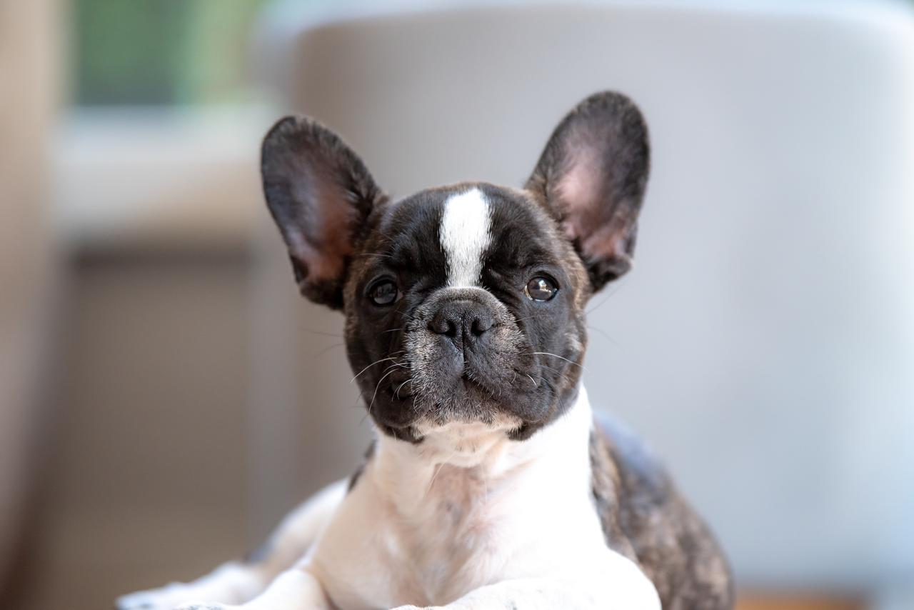 french bulldog puppy breeders california.jpg