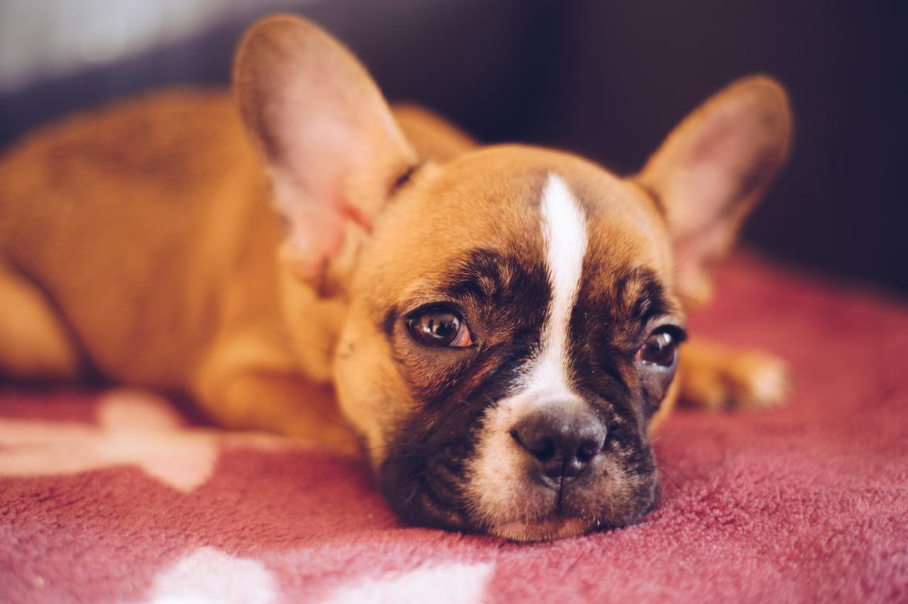 Why French bulldog puppies in California are the best