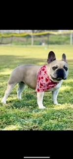 Image of Meiko, a French bulldog with the best Frenchie breeders in Los Angeles.
