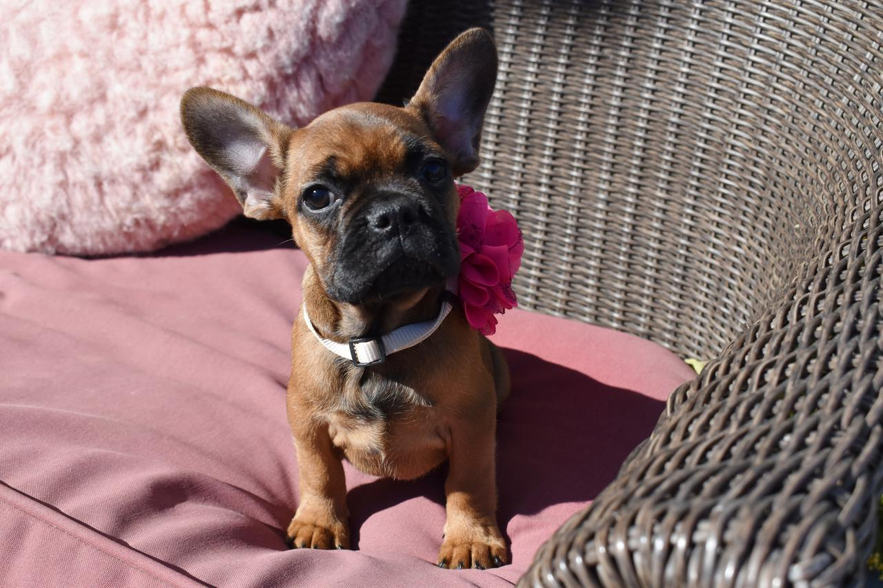 Our Maryland French Bulldog breeders want to help you keep your puppy safe all winter long.