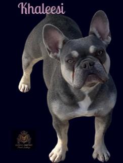Image of Khaleesi a bulldog with the best French bulldog breeder.