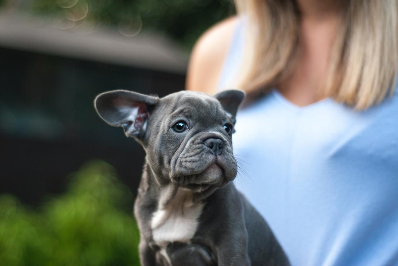 French bulldog puppy raised by one of the best French bulldog breeders