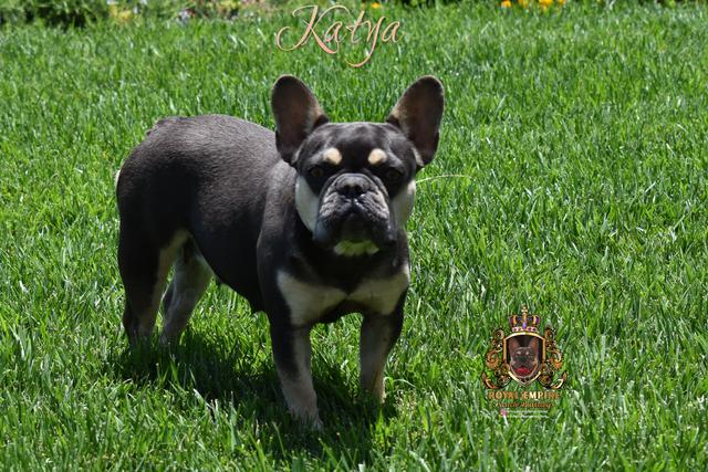 Image of Katya part of a Los Angeles frenchie breeder kennel.