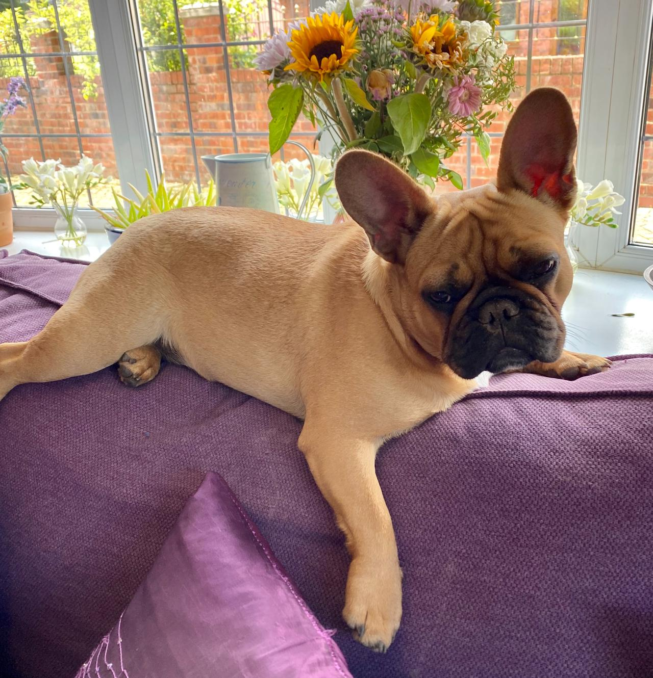Why should I buy AKC-registered French bulldog puppies?