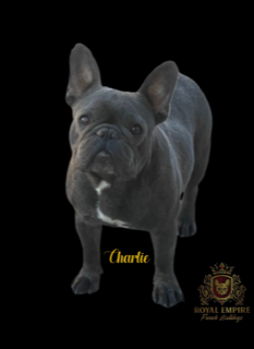 Image of Charlie, a boy dog with French bulldog breeders that ship nationwide.