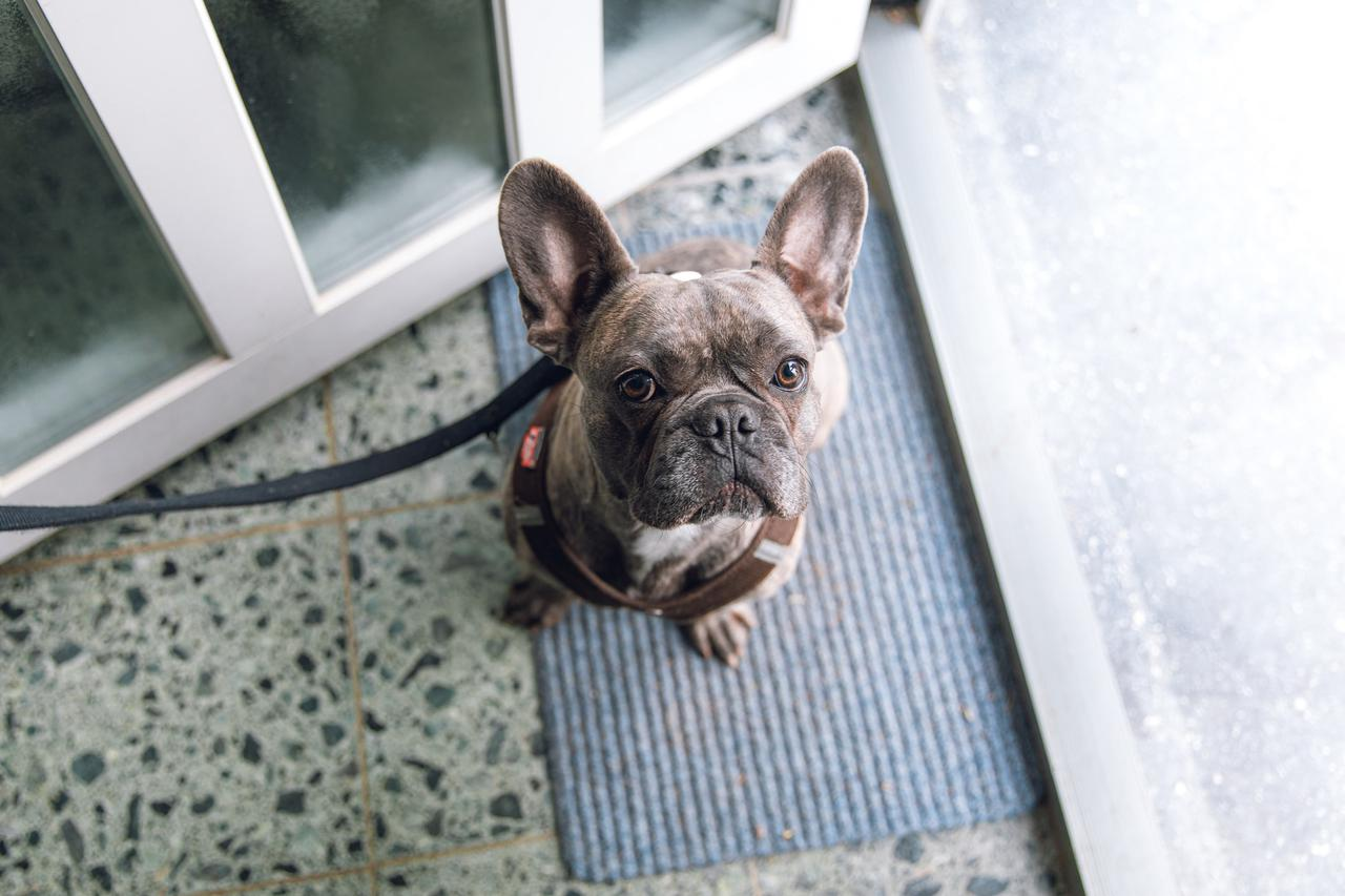 a French bulldog asking to be taken on a walk