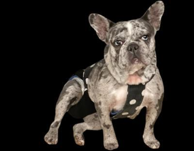 Image of Lina a Frenchie with the best bulldog breeders.