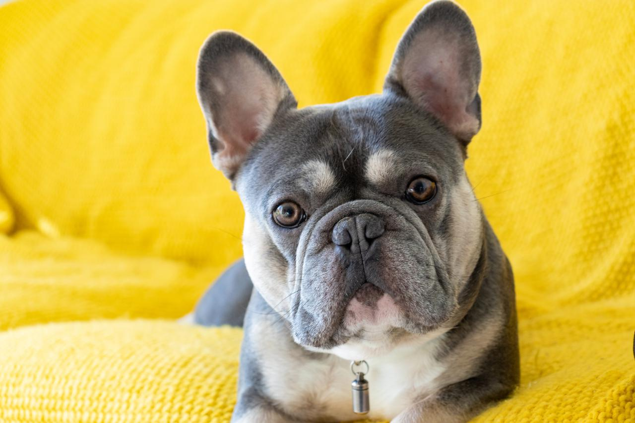 6 benefits of using a French bulldog stud service