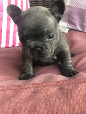 learn how to potty train your french bulldog puppy