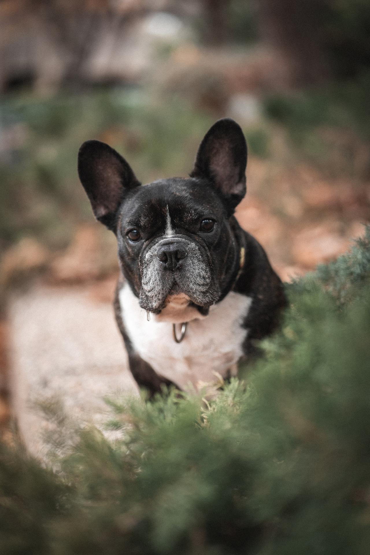 What to ask and where to buy French bulldogs