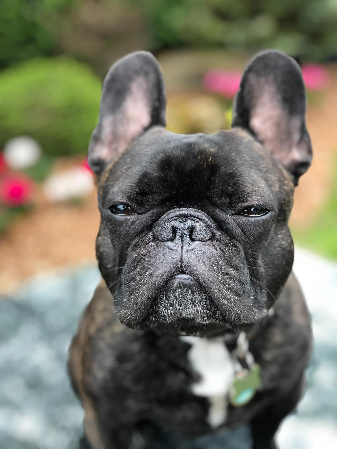 5 benefits of spending a little more for a French bulldog champion bloodline