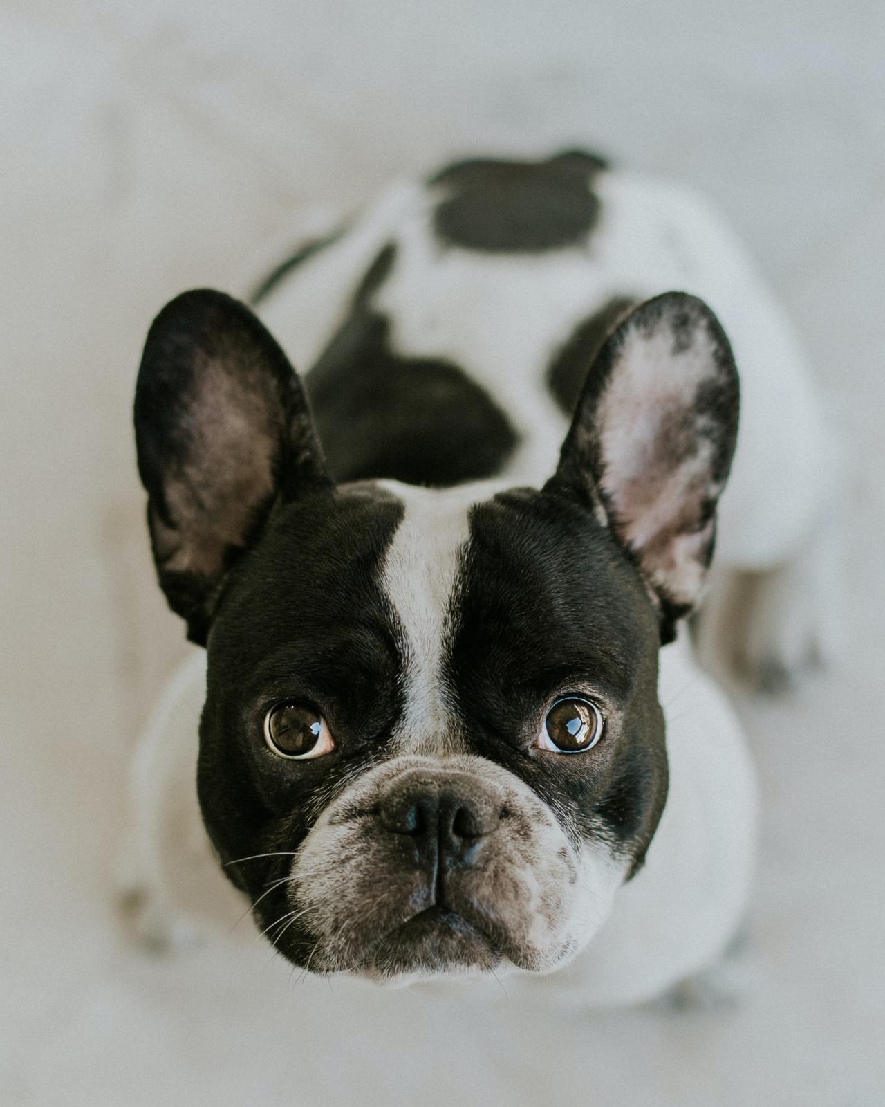 Ways you can get French bulldog financing in California