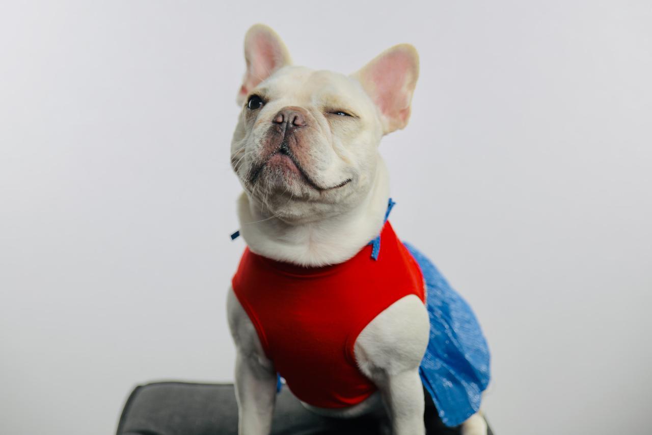 A cute French bulldog winking in her beautiful dress