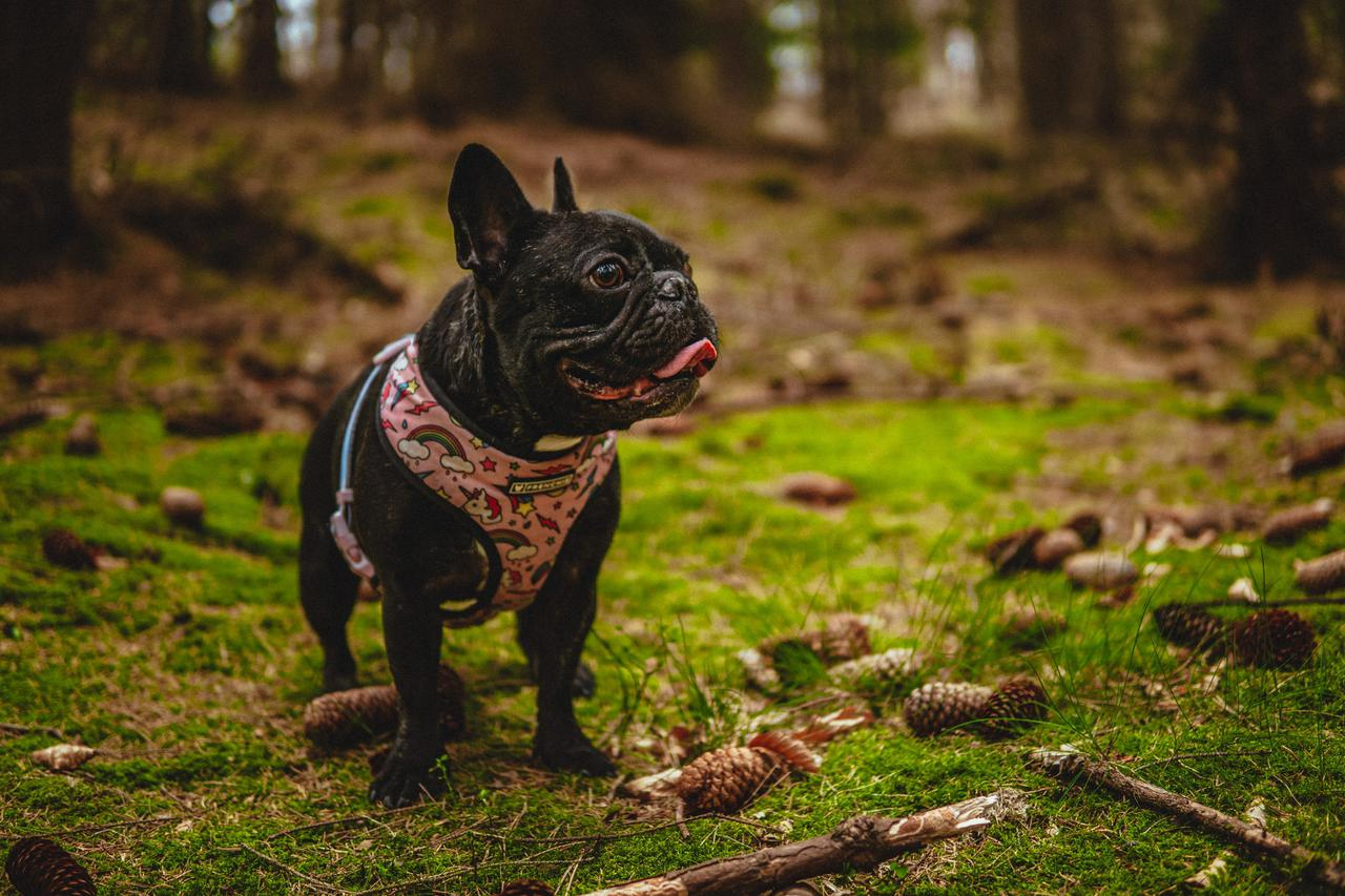 French bulldog breeders can help you find the best friend of a lifetime.
