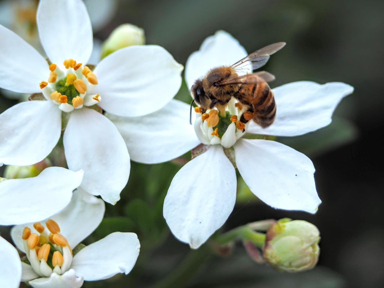 Bees pollinating the white flowers on a Choisya Ternata