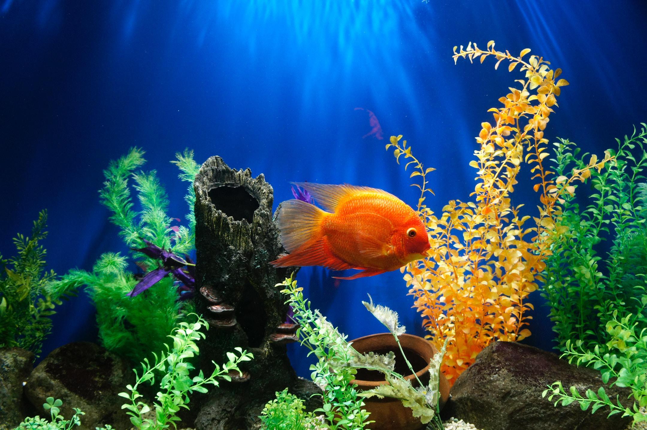 Goldfish swimming in a fish tank